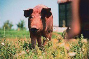 Glücksschwein Rosi auf dem Feld vom Bauernhof Lange in Lieschow auf der Insel Rügen